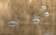Five swans in sunrise mist-0377 (mikeknowles60) Tags: sudburyhall sudbury sunrise swans mikeknowles mist canon canon650d nationaltrust