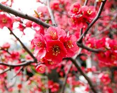 "2017 Spring flowers ""Quince flowers"" (shinichiro*) Tags: 20170402sdq1778 2017 crazyshin sigmasdquattro sdq sigma1770mmf284dcmacrohsm april spring yokohama kanagawa 外人墓地 33115499783 963092 gettying"
