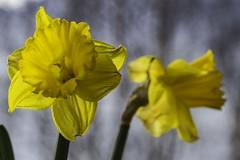 Jonquilles sur mon balcon ( Daffodils on my balcony) (Larch) Tags: fleur narcisse jonquille flower daffodil narcissus balcon balcony jaune yellow corolle fll ll transparence tranparency corolla pistil pétale petal printemps spring