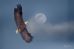 Bald eagle fly to the moon (Alex T Sam) Tags: bald eagle raptor wildlife moon inflight flight photography milpitas california