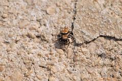 Gold Spider (ironmember) Tags: macro ragno spider goldspider ragnodorato aracnide insetto manolibera noflash nophotoshop millecolori riflessidorati carapacedorato nikkormicro85mmedifvrii nikon nikond90 d90 allaperto luceambiente