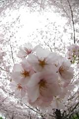 Flower 桜 春 Cherry Tree Cherry Blossom Pentax K-3 Springtime at 小松川千本桜