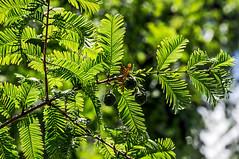Metasequoia glyptostroboides-14 (The Tree Library (TreeLib.ca)) Tags: metasequoiaglyptosroboides dawnredwood metasequoiaglyptostroboides
