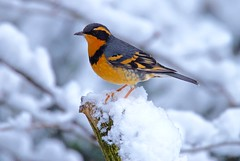 Varied Thrush - Explored (jerrygabby1) Tags: thrush snow explored