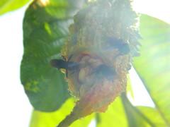 Abelha preta no melão-de-são-caetano nº 6 (Leo Castelo Branco) Tags: abelhapreta bee irapuã trigonaspinipes mormodica melão melãodesãocaetano nigauri nigagori goya semente seed seeds flora natureza nature sol sunshine sun raiodesol macrounlimited
