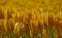 HAPPY EASTER TO ALL MY FLICKR FRIENDS!! (Corine Bliek) Tags: tulips yellow easter flowers bloemen pasen lente voorjaar spring natuur nature bollen bloembollen tulipfields happyeaster