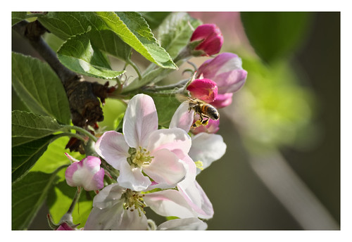 Appleblossom bee