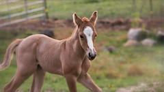 Run Free Chopper (TuthFaree) Tags: 7dwf horse colt fauna life newborn country easter