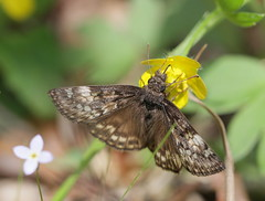 Juvenal's Duskywing (cotinis) Tags: insect butterfly lepidoptera hesperidae pyrginae erynnis erynnisjuvenalis juvenalsduskywing northcarolina piedmont fieldtrip cbs20170415 sigma150mmexdgf28macro bmna april