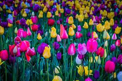 Spring Tulip Pops (ahockley) Tags: flowers oregon plants tulipfestival tulips woodburn woodenshoetulipfestival