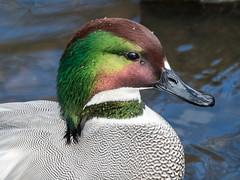 Falcated duck (Maria-H) Tags: burscough england unitedkingdom gb falcatedduck anasfalcata martinmere wwt lancashire uk olympus omdem1markii panasonic 100400