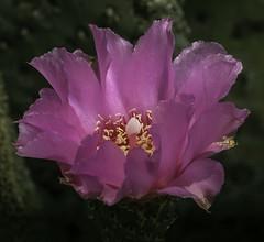 Beavertail Cactus Bloom In The Light (Bill Gracey 15 Million Views) Tags: beavertailcactus bloom fleur flower flor offcameraflash lakeside softbox garden yongnuorf603n yongnuo lastoliteezbox nature naturalbeauty