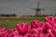 Dutch! (peeteninge) Tags: tulips tulpen mill molen dutch holland pink roze landscape landschap nature natuur spring lente sonyrx10 sony outdoor