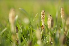 tag after school/放課後おにごっこ (kurupa_m) Tags: horsetail plant macro xt10 spring hokkaido sapporo つくし 春 北海道 札幌