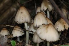 IMG_6637 (Daniel Menzies) Tags: mushroom fungi fungus macro nature canon80d tamron90mm28