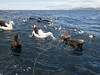 Sea birds (Baractus) Tags: kaikoura sea birds new zealand antipodean gibsons albatross cape pintado pigeon petrel northern giant john oates