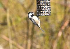 (careth@2012) Tags: nature wildlife bird beak feathers chickadee
