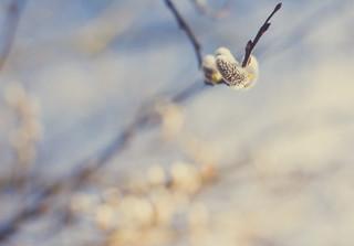 Fresh willow catkin