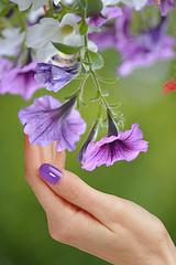 Hanging Down (swong95765) Tags: touch hand petunias hanging bokeh pretty beautiful purple