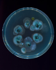 Six Blackberry Pips on Agar (avtencza) Tags: microbiology mycology mold fruit agar science art