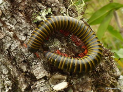 Millipede (Ecuador Megadiverso) Tags: andreaskay diplopoda ecuador myriapoda millipede