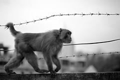 (Christian Webber) Tags: rishikesh monkey barb wire india