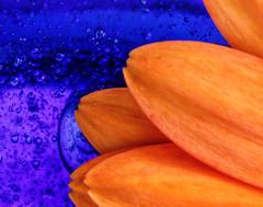 Vase and Flower (dshoning) Tags: macromonday flower vase blue orange daisy gerbera
