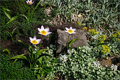 Crocuses (tombentz33) Tags: flowers spring crocus nature gardens outdoors