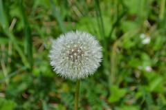 Dandelion puff (walmarc04) Tags: dandelion garden puf puff down fluff fuzz lint floss bloom