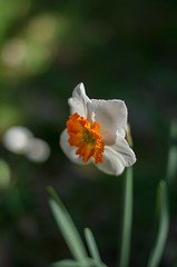 daffodil (ΞSSΞ®®Ξ) Tags: ξssξ®®ξ pentax k5 flower angle 2017 smcpentaxm50mmf17 yellow orange white green depthoffield plant blossom garden outdoor daffodil