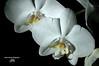 Orchidées ( photopade (Nikonist)) Tags: orchidée fleurs nikon apple couleurs imac affinityphoto nikond70 nature végétation