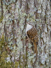 Tree Creeper (Highlandscape) Tags: iainmacdiarmid free highlandscape nature outdoor rural weather ecosse countryside highland head httphighlandscapezenfoliocom treecreeper fauna olympus natural neck tail sunny creature dogwalk bark moss beauty bird wildlife landscape animal woodland trees em5 wings scotland feathers urquhartbaywood drumnadrochit eyes beak certhiafamiliaris local olympusem5markii legs lichen spring