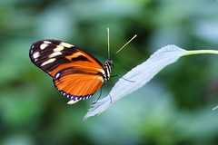 DSC04823 (Fotofreaky2013 (BUSY)) Tags: orchideeënhoeve luttelgeest butterfly vlinder vlindertuin