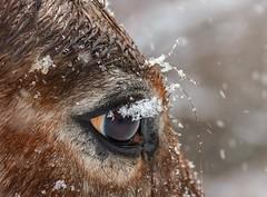 Eye (Karen_Chappell) Tags: horse eye animal mammal farm snow snowing snowy weather brown nature obriensfarm stjohns newfoundland nfld canada atlanticcanada avalonpeninsula bokeh