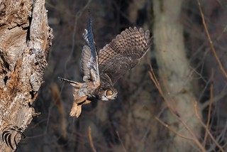 Great Horned Owls of New Jersey   2017 - 6