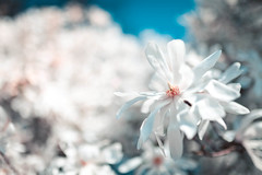 You can turn off the sun but I'm still gonna shine and I'll tell you why (surfingstarfish) Tags: frühling blüte blühen jahreszeit frühjahr natur nahaufnahme weis blossom bloom spring springtime closeup nature white blume flower hell bright