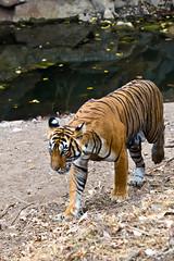 555 Day 3 Tigers (brads-photography) Tags: female india mala nationalpark noor pantheratigristigris rajasthan ranthambore royalbengaltiger sawaimadhopur sideon standing t39 tiger tigerreserve walking waterhole wildlife
