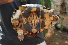 DSC07406_DxO männliche Schildkröte_Bildgröße ändern (Jan Dunzweiler) Tags: madagaskar africanbikers reniale renialareserve jandunzweiler schildkröte turtle tortue
