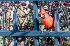 Male Cardinal (JK's Photographs) Tags: male red cardinal fence bushes beautiful model canon eos 7d mark ii ef70200mm f28l is usm 2x iii flickr explore fowl bird birds