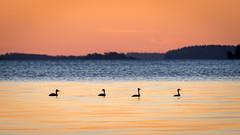 20170411_061340.jpg (jussidimitrijeff) Tags: bird vuosaari crestedgrebe sunrise helsinki sea