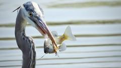 SNACK TIME (Lisa Plymell) Tags: nature gbh nikon p900 coolpix bird fish