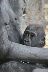 IMG_2416 (mrwalli) Tags: baby mother hugging calgaryzoo