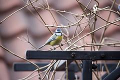 Blue tit / blåmeis - Norway (Ingunn Eriksen) Tags: blåmeis bluetit bird nikond750 nikon