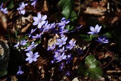 the blue Forest (Hugo von Schreck) Tags: leberblümchen hepaticanobilis hugovonschreck wildblume canoneos5dsr tamron28300mmf3563divcpzda010 wildflower flower blume blüte