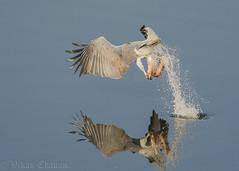 Caught in the act - White-bellied Sea Eagle. (Vikas.B.Chavan) Tags: nnikon d7100afs nikkor 300mm f4d ifednikon tc 17e iiwhitebellied sea eaglehaliaeetus leucogaster