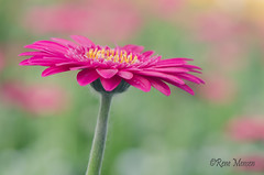 Gerbera (Rene Mensen) Tags: gerbera flower bloem kom de kas klazienaveen drenthe holland