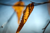 DSC02286 (terryw002) Tags: zeiss zeiss135 apo sonnar golden leaf leaves forest nature