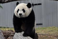 panda (greenelent) Tags: panda animal zoo washington dc 365 photoaday