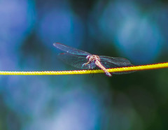 Dragonfly (agnesbangali) Tags: dragonfly insects animals africa sierraleone nikon freetown yellow 85mm macro