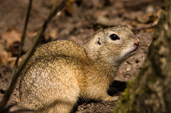 Ziesel, ground squirrel (Klaus Lechten) Tags: ziesel erdhörncen gophers gopher groundsquirrels animals tiere gras groundsquirrel squirrel natur nature grass e3 klaus sigma150500 pentaxk5ii